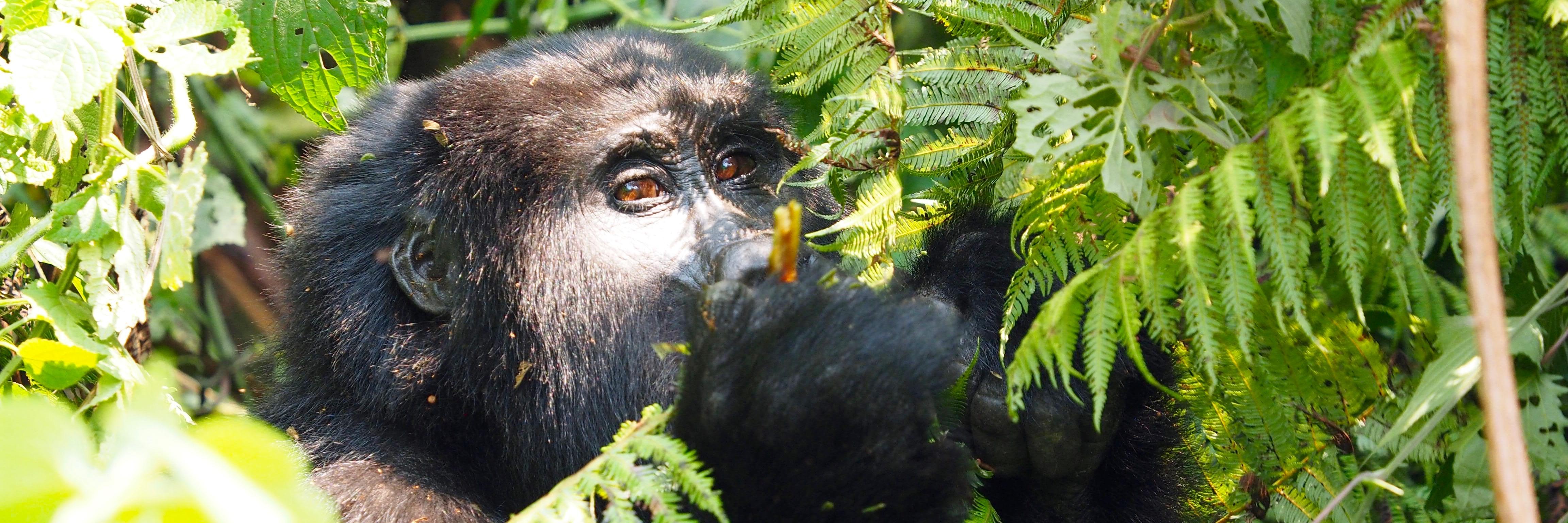 Goryle górskie - Uganda